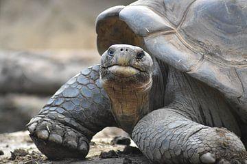 Een schildpad, zo nieuwsgierig en wijs van Highthorn Photography