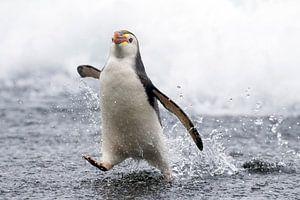 Rennende Royal Penguin (Eudyptes schlegeli)