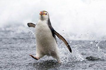 Rennende Royal Penguin (Eudyptes schlegeli) van Beschermingswerk voor aan uw muur