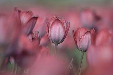 La romance des tulipes sur Coby Bergsma