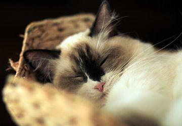 Ragdoll poesje Gwen slaapt in mandje von Corry Husada-Ghesquiere