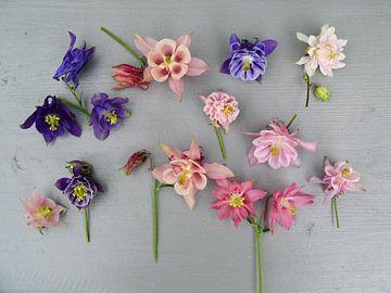Collectie bloemen van de  Akelei op grijze achtergrond. van Anneke Beemer