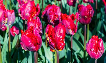 Rode Tulpen sur Hans Verhulst