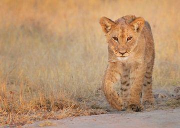 Leeuw welpje in het laatste licht van Michael Kuijl