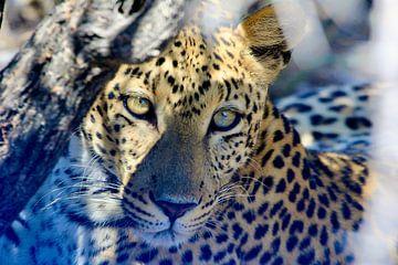 Leopard in den Wäldern von Daphne de Vries