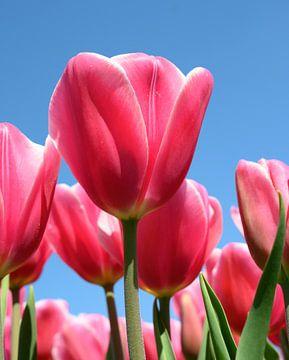 Bloeiende rode tulpen met een blauwe lucht von Michel Knikker