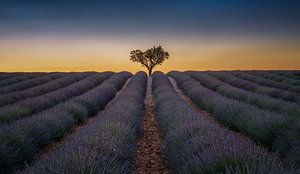 Lavendel veld in de Provence van
