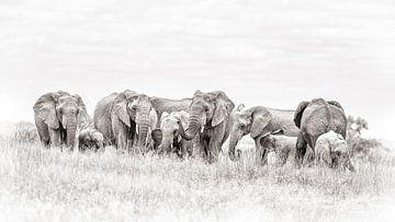 Kudde olifanten van De Afrika Specialist