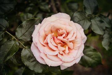 Vintage roos van Ineke Huizing