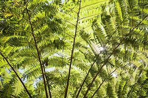 Riesen Farn Blätter - Australien
