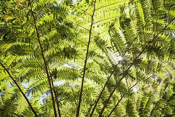 Riesen Farn Blätter - Australien von Jiri Viehmann