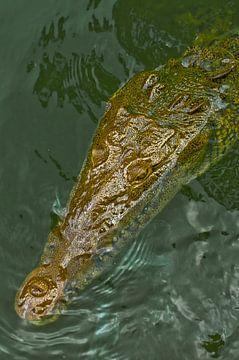 Jamaicaanse krokodil van Stefan Antoni