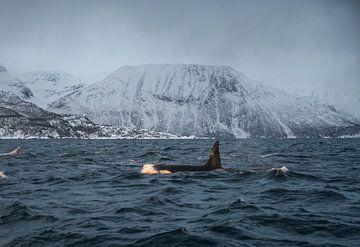 Orka/Orca in de fjorden van Noorwegen van Merijn Loch