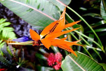 Paradijsvogelbloem van Fleksheks Fotografie