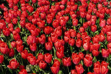 Tulpenzee von Floris van Woudenberg