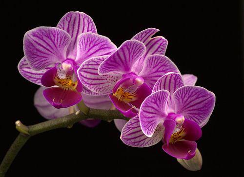 Bloeiende paarse orchidee van Dirk Jan Kralt