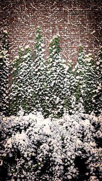 Efeu mit Schnee von Jan van der Knaap