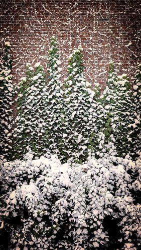 Klimop met sneeuw