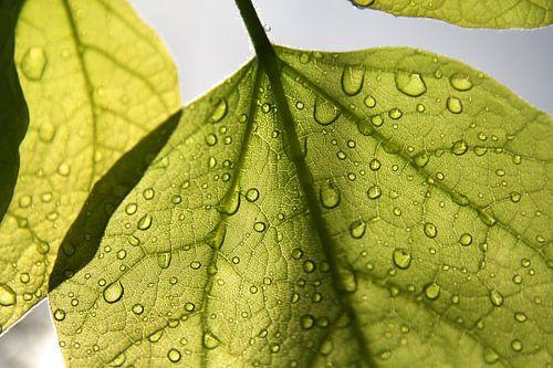 Dawn Leaf