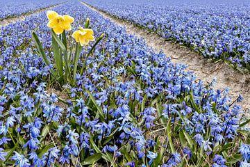 Narcis tussen de Hyacinten van eric van der eijk