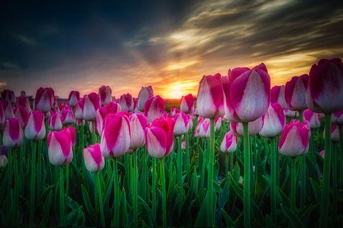 paars witte tulpen van