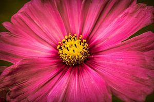 Grote roze bloem
