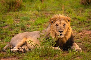 Das Porträt eines Löwen (Panthera Leo), der den Betrachter mit durchdringenden Augen anschaut. von Gunter Nuyts