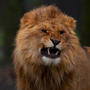 Jonge leeuw laat zich horen.