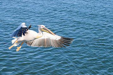 Vliegende Pelikaan van Merijn Loch