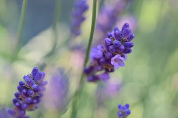 Lavendel, macro opname van Monique Pulles