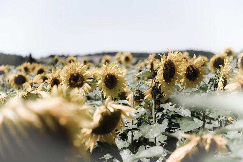 Veld met zonnebloemen van Wim Slootweg