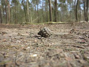 dennenappel op een bospad van