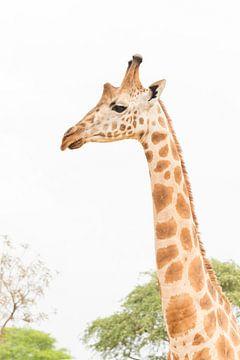 Giraffe in Oeganda van Robert van Hall