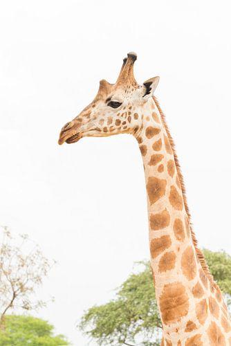 Giraffe in Oeganda