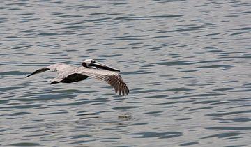 Dominicaanse albatros van Jelle Ursem