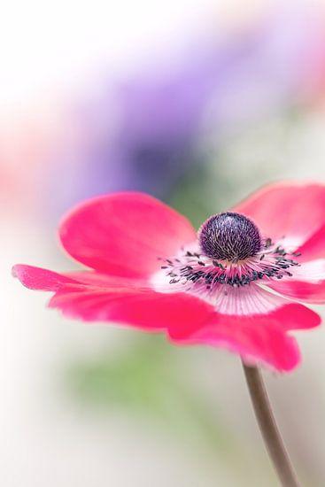 Proud... (bloem, anemoon) van Bob Daalder