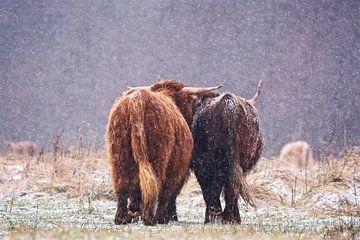Together is a Wonderful Place to Be - Schotse Hooglanders in sneeuwlandschap van Audrey van der Hoorn