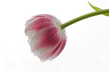 Tulip von Janny Kleijn