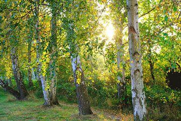 Herfstberken tegen het licht van Ostsee Bilder