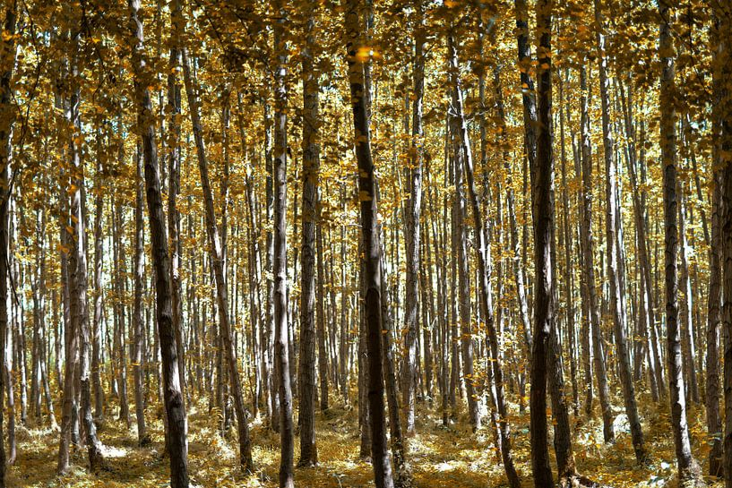 Forêt jaune d'automne sur Miranda van Hulst