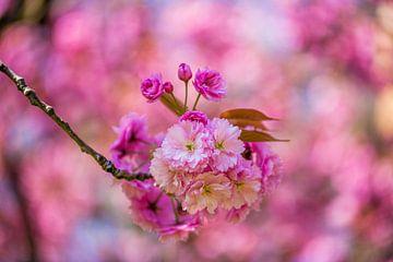 rosa Blüte Blumen auf Zweig mit vagen Hintergrund von Margriet Hulsker