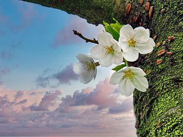 Sakura (Japanische Kirsche) von Eduard Lamping
