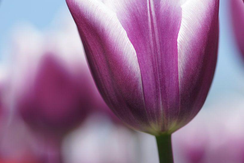 Pink Tulips van Carla Mesken-Dijkhoff