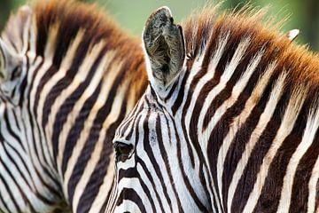 LPH 70522892 Twee zebra's van BeeldigBeeld Food & Lifestyle