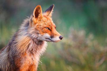 Red fox portrait sur Pim Leijen