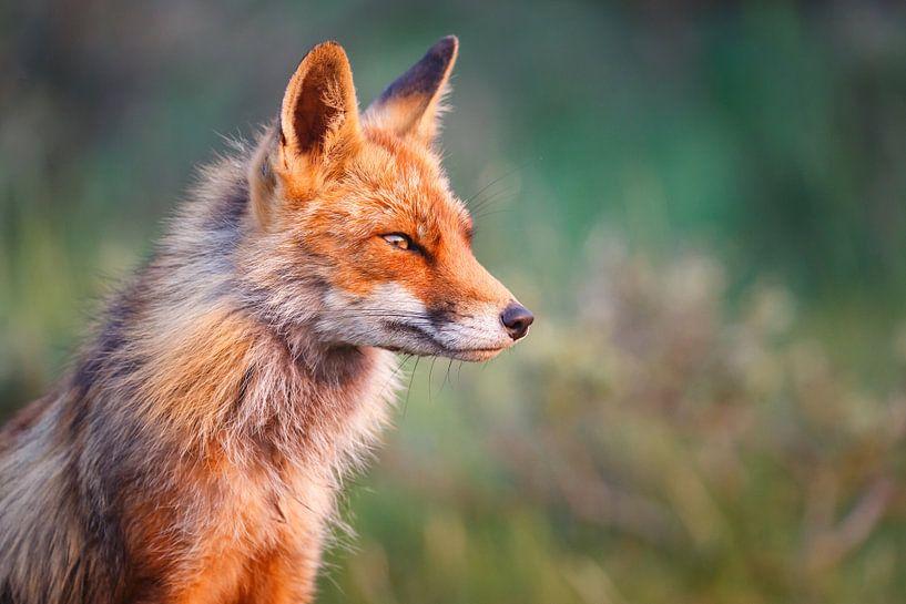 Portret van een vos van Pim Leijen