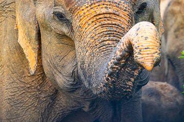 Olifantenslurf Sri Lanka van Julie Brunsting