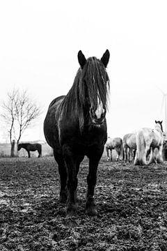 Zwart tinker paard 2 von Lina Heirwegh
