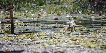 waterlelies met visarend van Stefan Havadi-Nagy