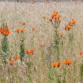 Roggelelie in akkerbloemen reservaat in Govelin, Wendland,Niedersachsen Duitsland van Martin Stevens